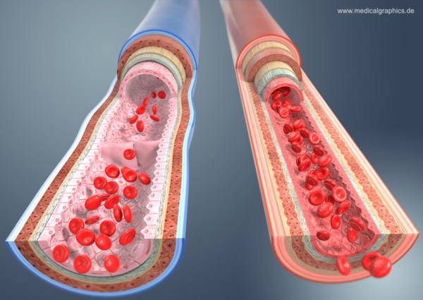 Comparison of blood vessels - arteries veins - dark