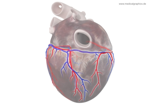 Coronary circulation - below