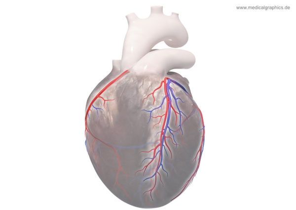 Coronary circulation - frontal