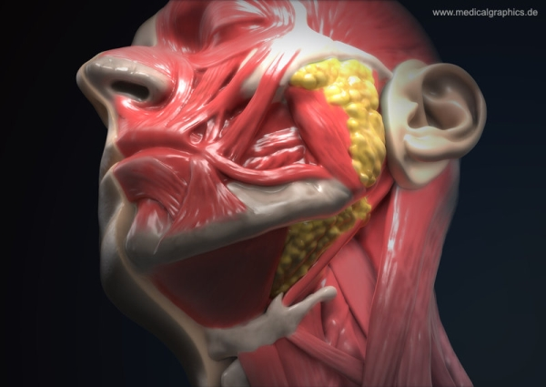 Head anatomy semi-profile throat