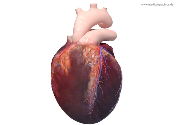 Heart anatomy - front