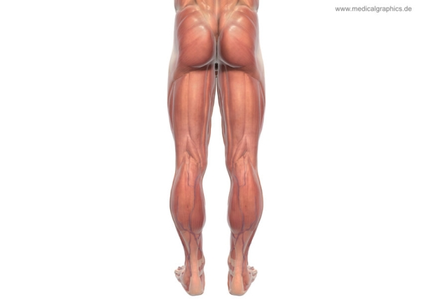 Muscles legs back male - white