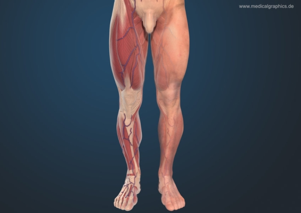 Leg muscles front male - dark