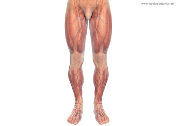 Muscles legs front male - white