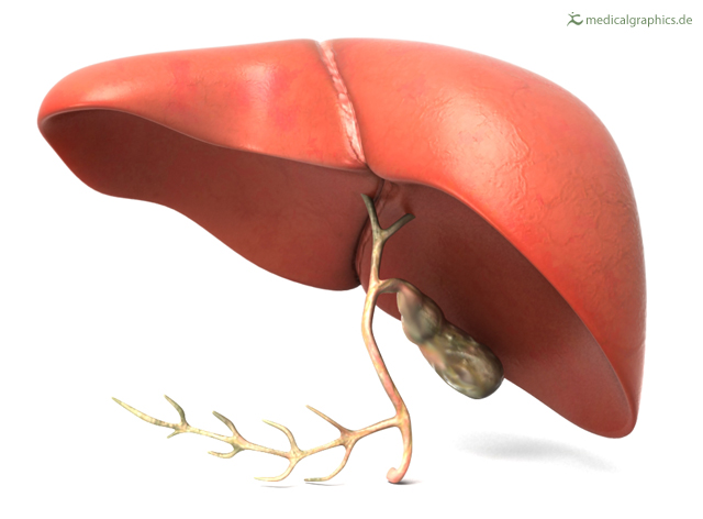 liver with gallbladder (back)