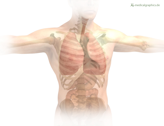 location lung in torax