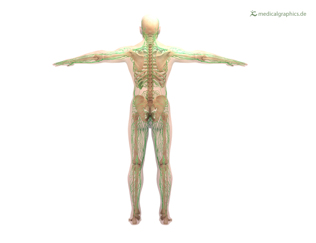 lymphatic system (back)