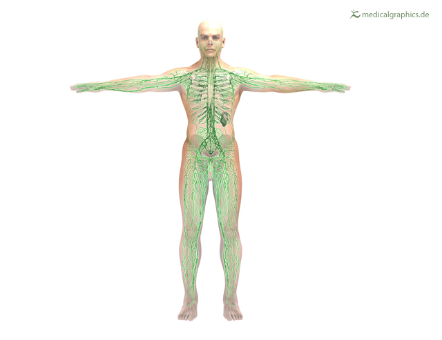 lymphatic system (front)