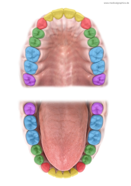 Tooth types of upper and lower jaw