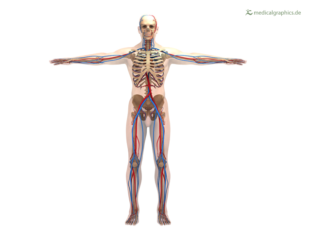 vascular system (front)