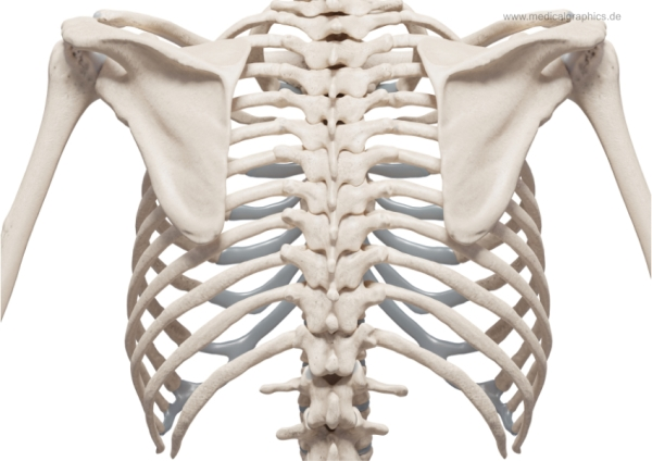 Chest skeleton - back