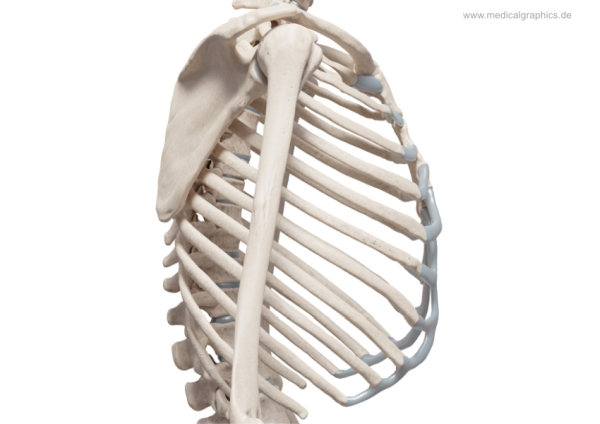 Chest skeleton - lateral