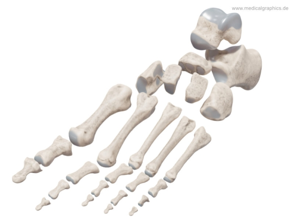 Foot bones and joint surfaces