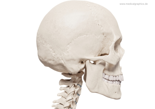 Skull + cervical spine - lateral