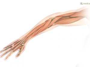 arm with muscles and tendons