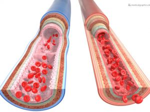 Comparison of blood vessels - arteries veins - white