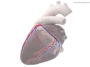 Coronary circulation - left
