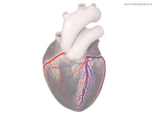 Coronary circulation - top
