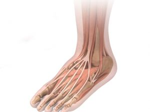 foot with muscles and bones