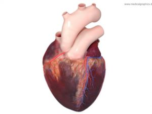 Heart anatomy - top