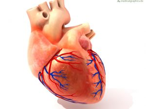 heart with coronary arteries