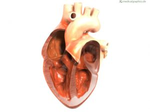 heart with ventricles and atria