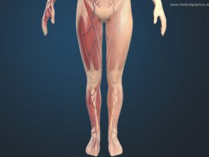 Leg muscles front female - dark