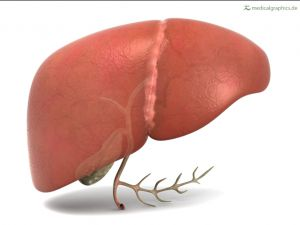 liver with gallbladder (front)
