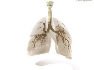 lung with bronchia