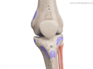 Knee - muscle insertion + origin - front
