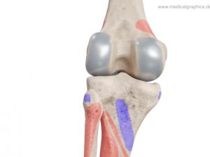 Knee - muscle insertion + origin - posterior