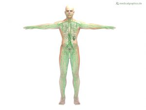 Lymphsystem (frontal)