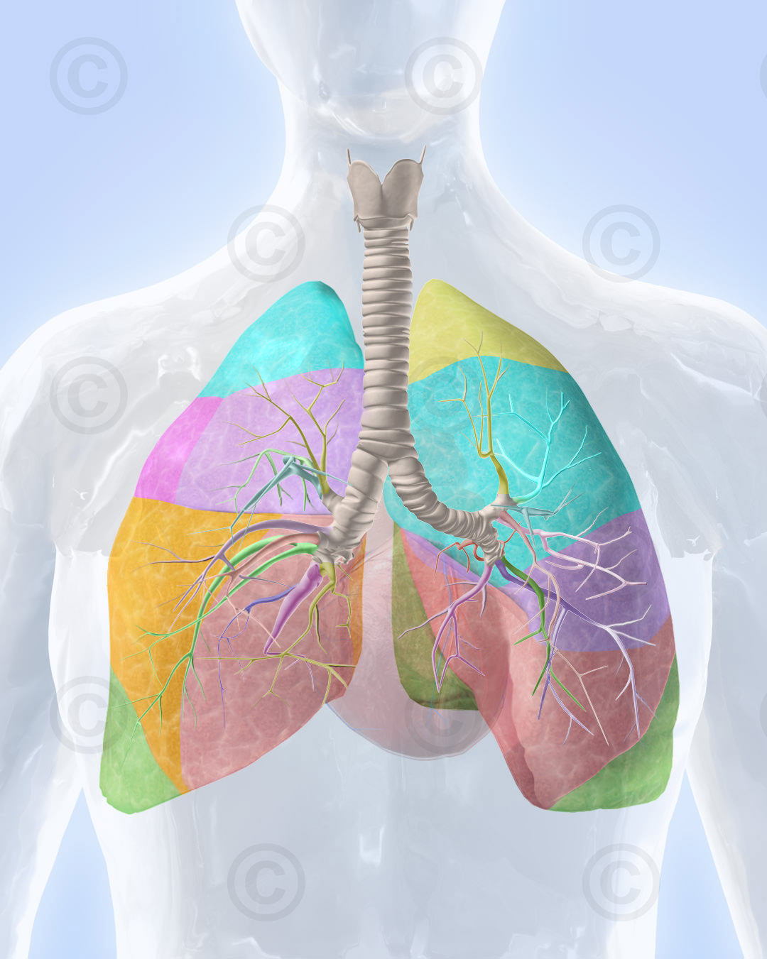 Anatomy of the human lung